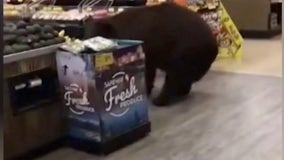 Bear who wandered through Tahoe Safeway store shot and killed