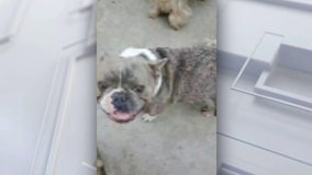 Family in Pacoima claims neighbor won't return lost French Bulldog
