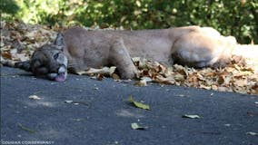 1st mountain lion in California released back to wild dies