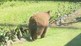 Bear spotted in San Dimas neighborhood
