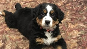 Funeral home adopts Bernese mountain dog named Mochi to comfort grieving families