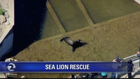 Wayward sea lion stuck in Vacaville canal