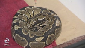 2-foot long snake found on VTA bus up for adoption