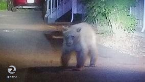 Black bear seen wandering downtown Healdsburg for more than an hour