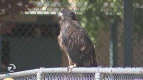 Baby eagle falls again
