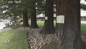 Menlo Park commission votes to cut down 7 trees despite pleas to save the redwoods