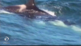 Orca attack on shark caught on camera