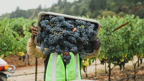 The first grapes of the wine country harvest are coming in