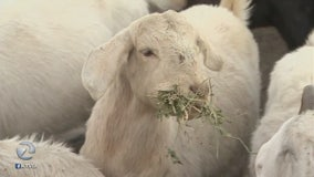 Thieves steal herd of pregnant goats, reward offered