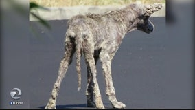 Coyote suffering from severe mange spotted in Danville