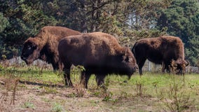 'I could feel the earth rumbling': Bison stampede at Yellowstone National Park after tourists get too close