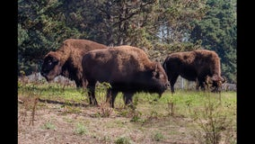 Animal lovers who can't visit Golden Gate Park can check out the new Bison Cam