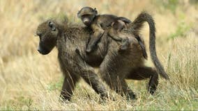 Idaho fish and game commissioner resigns after hunting 'family of baboons'