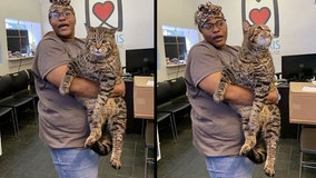 'Chonky kitty': 26-pound cat headed to forever home thanks to viral success