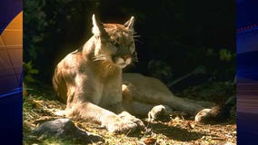 Mountain lion spotted near College of San Mateo