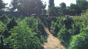 Massive marijuana bust in California, bales of cannabis put through the chipper