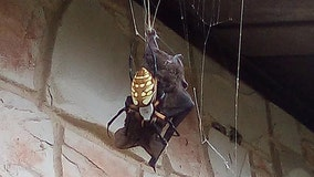 Stunned woman captures viral moments of garden spider killing, sucking blood of bat outside home