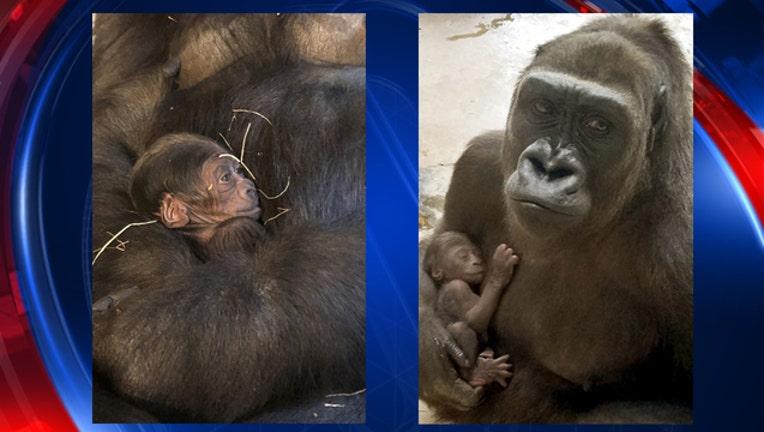 4573e786-Dallas zoo baby gorilla-409650