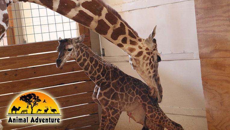 April_the_giraffe_gives_birth_to_baby_bo_0_20170415220952-401385