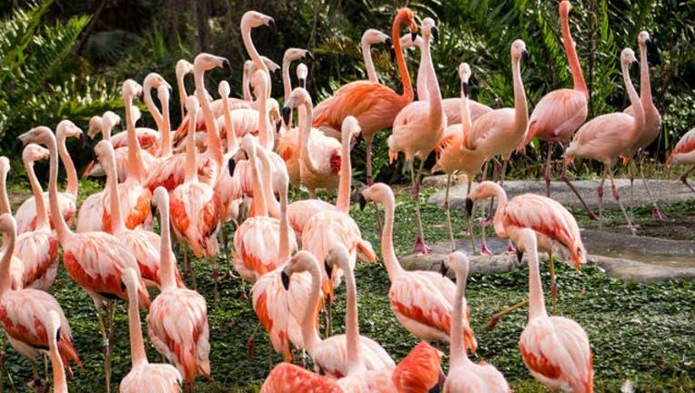 9de2fb37-Chilean-flamingos-Brevard-Zoo_1487291932928-402429.jpg