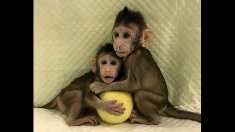 14484087-China Cloned Monkeys_1516823556077