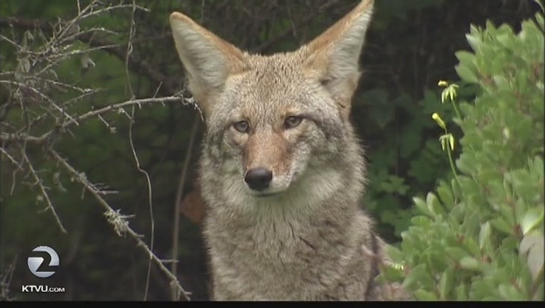 5a83224a-Coyotes_in_San_Francisco_are_here_to_sta_0_20160325011411