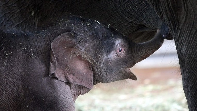 24580a78-GETTY baby elephant_1553861674598.png-402429.jpg