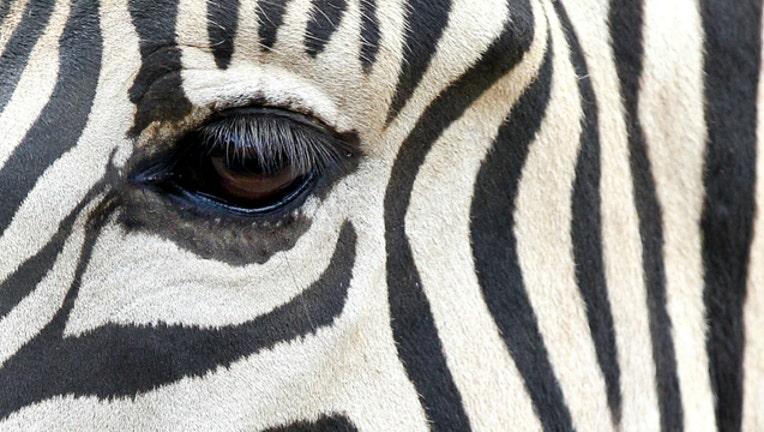 86e4b666-GETTY zebra_1548881827242.jpg-404023.jpg