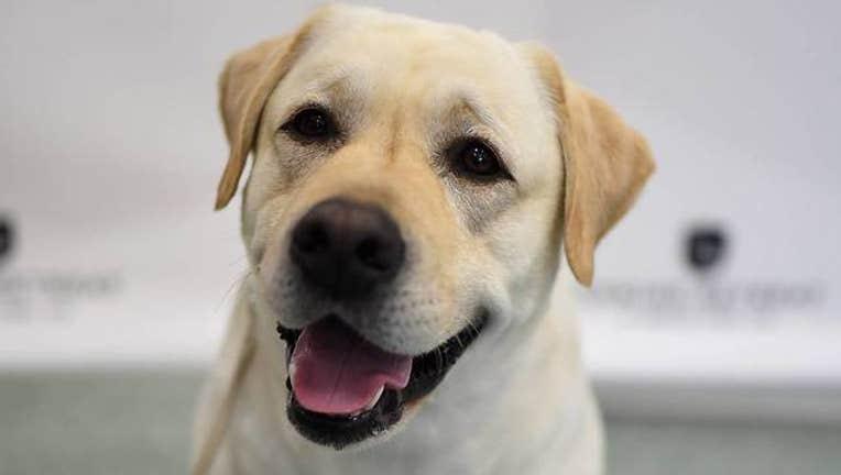 2afa3bd3-Getty Labrador Retriever_1553088085051.jpg-408200.jpg