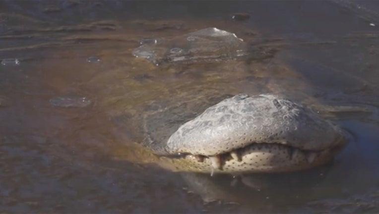f4e24517-Swamp Park frozen alligator 012419_1548357148006.jpg-403440.jpg