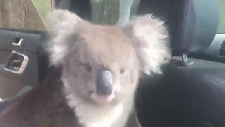 998fca36-TIM WHITROW_koala in car_032619_1553628110428.png-402429.jpg