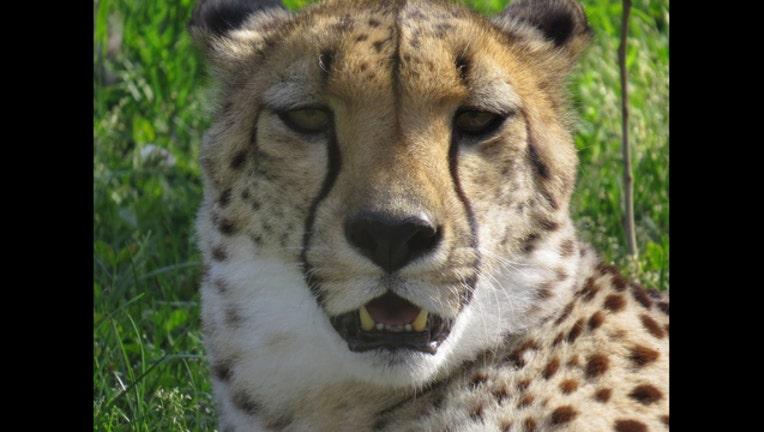 658788d0-cheetah-head_1520400238856.jpg