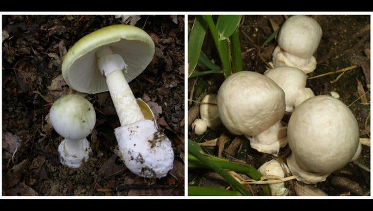 2cdc1cad-deadly shrooms_1512679197461.jpg