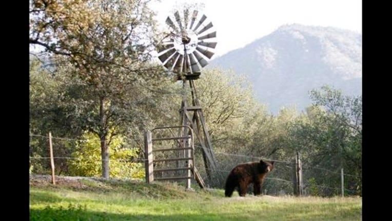 California Drought Bears_1447074651559