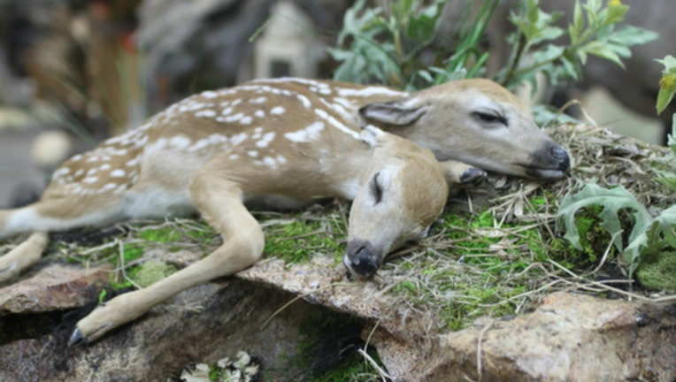618d2707-Two headed fawn (image courtesy Minnesota DNR)-404023