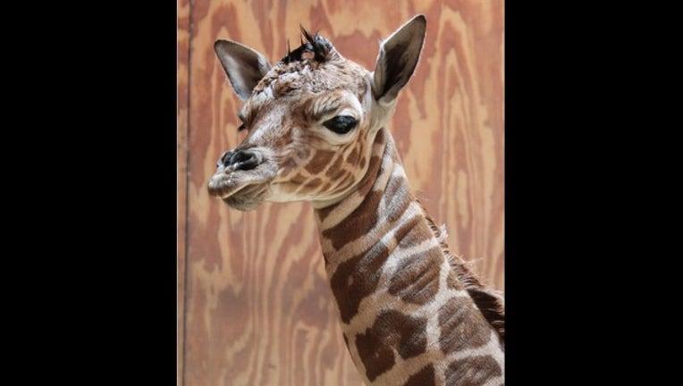 d269f8ea-Baby giraffe born at San Francisco Zoo