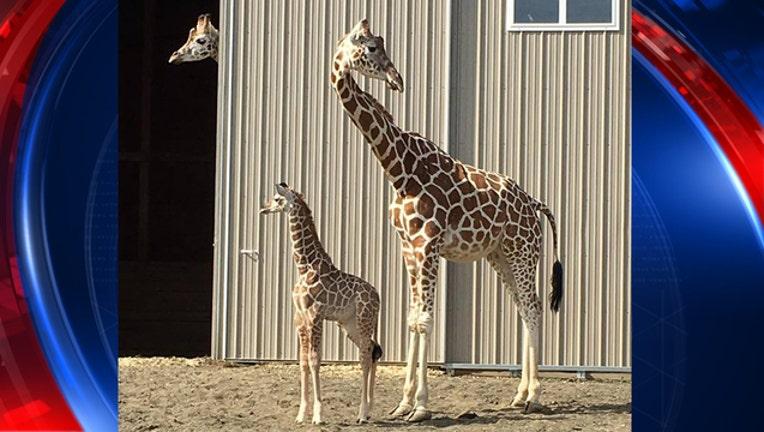 8b395b67-giraffes_1494856438398-401385.jpg