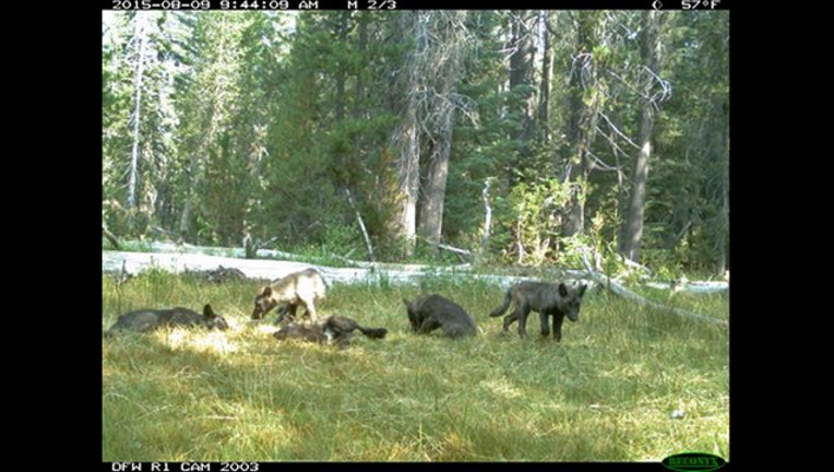 cb7a5aa8-Missing Gray Wolves_1489421234776