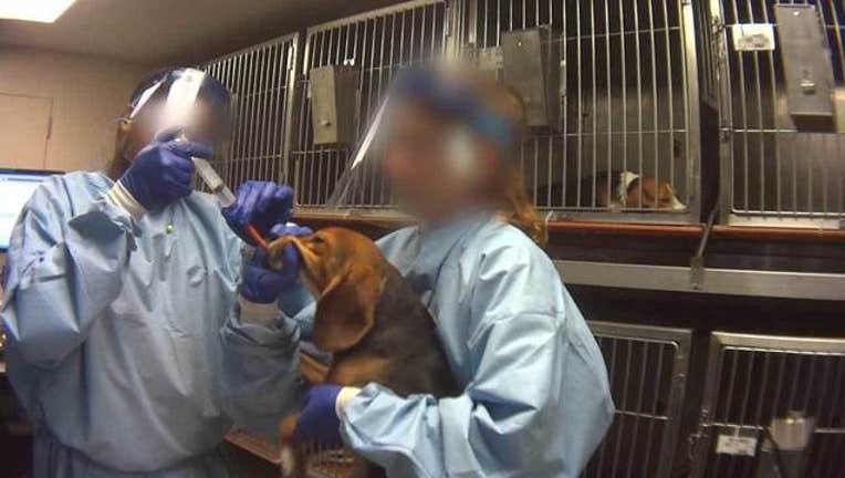 e31cc956-humane-society-wjbk-beagles-lab-testing-031419_1552578898751-65880.jpg