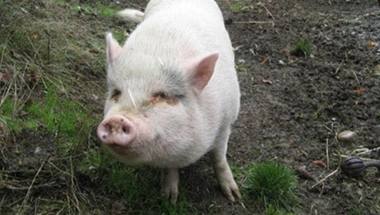 f800f35a-molly_pig_adopted_killed_eaten_022618_1519667304661-401096.jpg