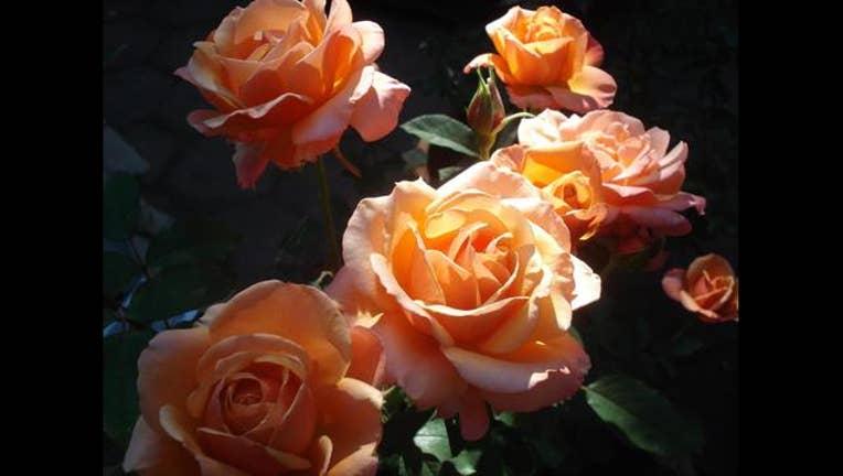 mother's day rose_1526146880028.jpg.jpg