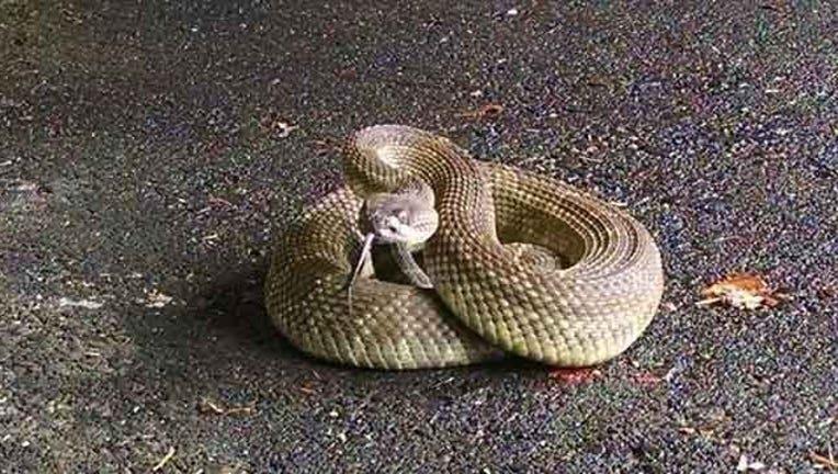 547d7f54-rattlesnake_1526421899456.jpg