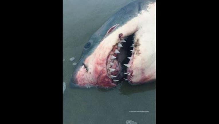 94f902e3-shark_new_1548369262639.JPG