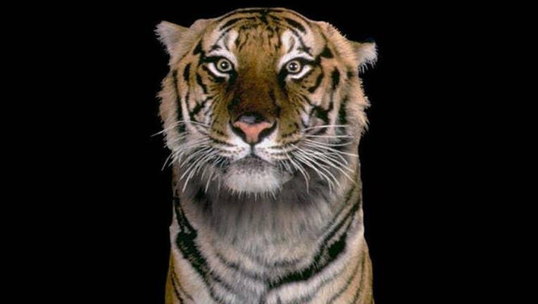 f6fc9a44-tiger_1496088934296.jpg
