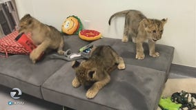Cuddling up with these lion cubs on Mornings on 2