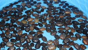 Two suspects charged in largest seizure of turtles in recent history, FWC says