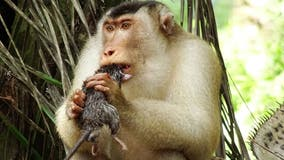 Greedy killer monkeys found eating large rats in Malaysia, leaving scientists 'stunned'