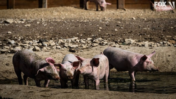 A solution for food waste in schools: Feed it to the pigs