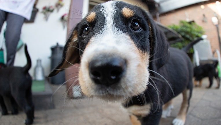02b6793e-12 July 2019, Lower Saxony, Bohmte: A puppy dog looks into the camera. Labrador bitch Peggy and Bernese Mountain Dog Bronko had had 13 offspring about eight weeks ago. Photo: Friso Gentsch/dpa (Photo by Friso Gentsch/picture alliance via Getty Images)