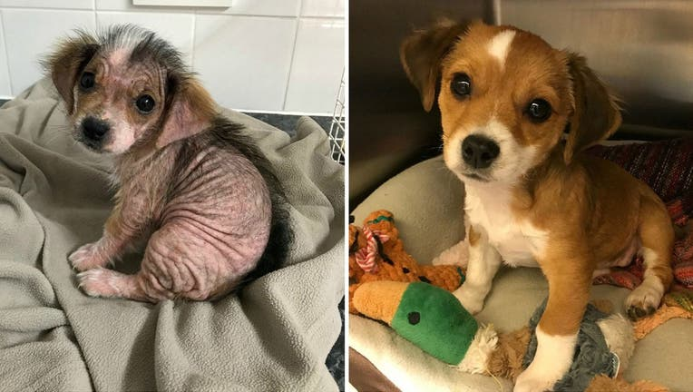"""Though Jessie DeFreitas already had four cats and a rescue dog at home, something about the """"beautiful eyes"""" of a small rescue pup named Honey mesmerized her when the animal was brought to the vet's office by her former, negligent owners back in August. (SWNS)"""